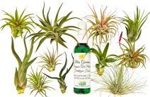 12 pc Air Plant Tillandsia Starter Set by Bliss Gardens - 12 Live House Plants with 1 Bottle of Organic Fertilizer Food