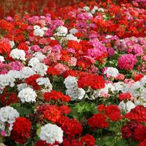 Outsidepride Geranium Flower Seed Plant Mix - 100 Seeds
