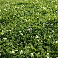 Outsidepride White Dutch Clover Seed: Nitro-Coated, Inoculated - 2 LBS