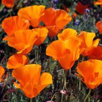Outsidepride California Poppy Flower Seed - 1/4 LB