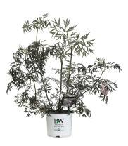3 Gal. Black Lace Elderberry (Sambucus) Live Shrub, Pink Flowers