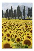 Tuscany, Italy - Sunflower Field 9002403 (Premium 1000 Piece Jigsaw Puzzle for Adults, 20x30, Made in USA!)