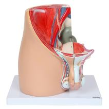 Axis Scientific Male Pelvis Model   Male Reproductive System Model Dissects Into 3 Parts and is 11 Inches Tall   for Study of Male Reproductive Organs   Includes Product Manual   3 Year Warranty