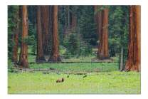 Sequoia National Park, California - Bear and Trees 9002928 (Premium 1000 Piece Jigsaw Puzzle for Adults, 20x30, Made in USA!)