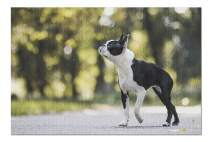 Boston Terrier Dog Sniffing & Posing in a Park 9021791 (19x27 Premium 1000 Piece Jigsaw Puzzle, Made in USA!)