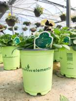 Garden Elements Live Petunia Plant, 16cm Pot (Dark Saturn Hybrida)