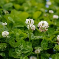 Outsidepride White Dutch Clover Seed: Nitro-Coated, Inoculated - 1 LB