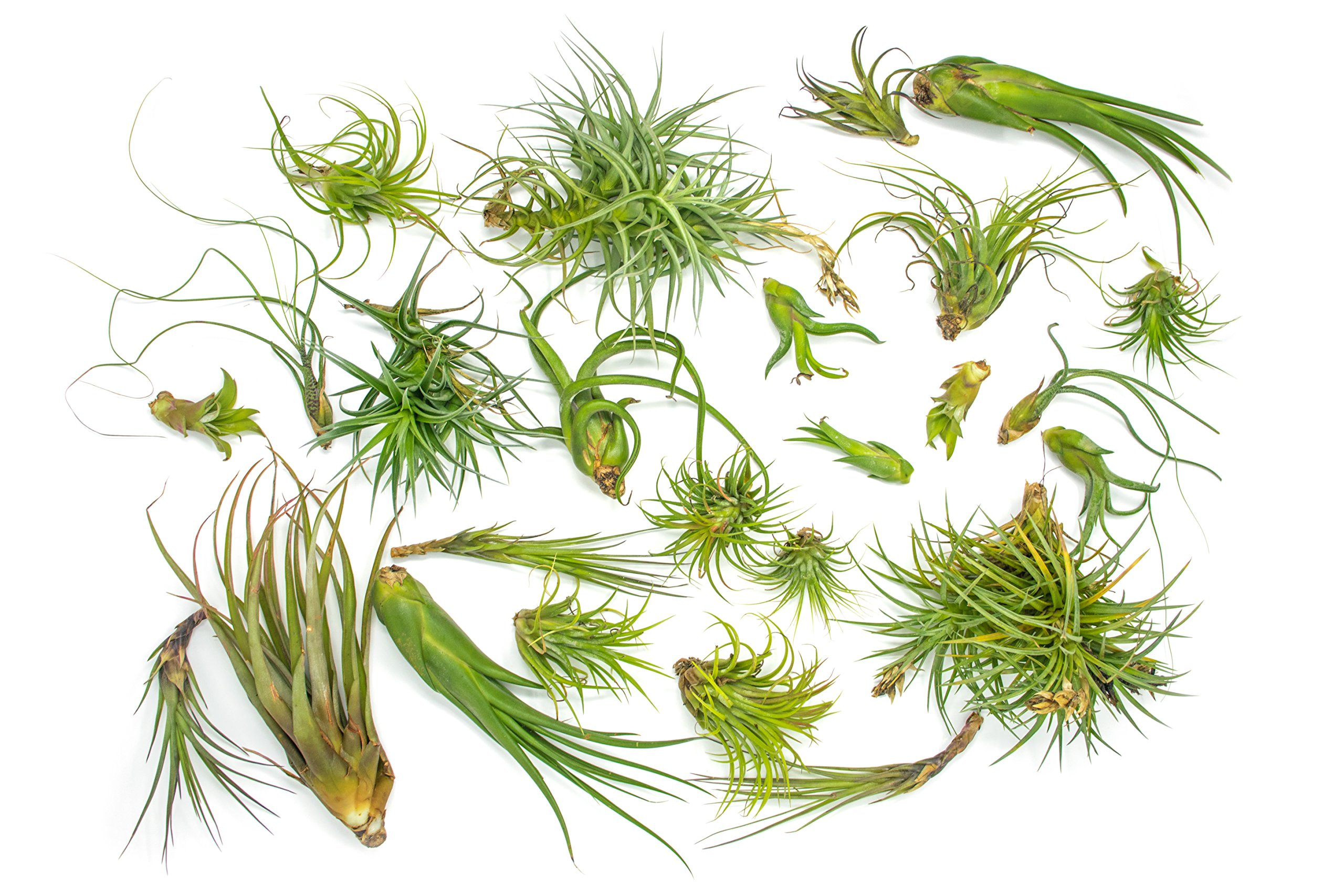 25 B-Grade Air Plant Variety Pack - Bulk Assorted Species of Live Tillandsia Tropical House Plants for Sale - 2 to 10 Inches Each - Air Plants for Indoor Home Decor
