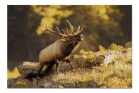 Rocky Mountain National Park, Colorado - Elk 9001747 (Premium 1000 Piece Jigsaw Puzzle for Adults, 20x30, Made in USA!)