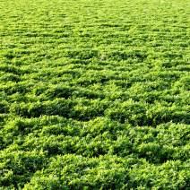 Outsidepride Alfalfa Legume Seed - 20 LBS