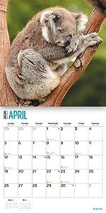 2020 koala