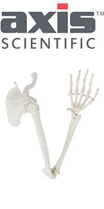 Axis Scientific Arm Skeleton - Right