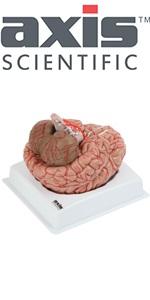 Axis Scientific 8-Part Deluxe Human Brain with Arteries