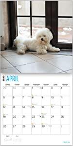 bichon frise calendar