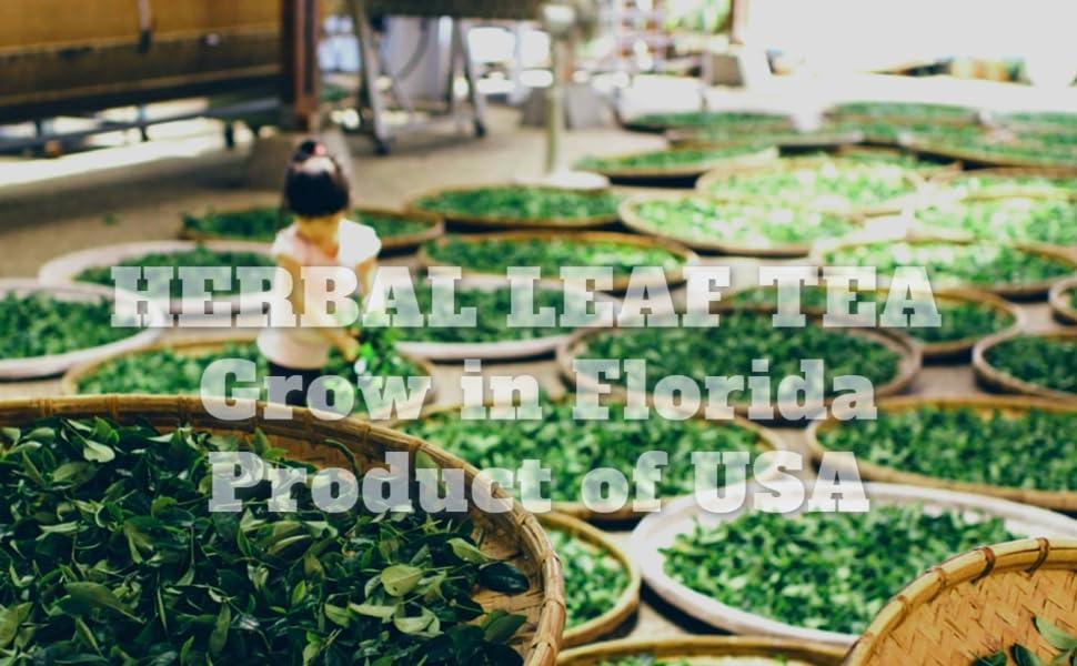 Fresh Leaves, Organic Herbal Leaves Tea, Leaf Tea, Mango Leaf, Moringa Leaves, fresh soursop leaves