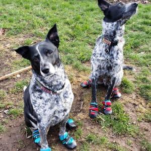 dogs in healers urban walkers, healers dog booties