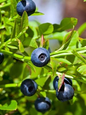 Wild blueberries, bilberries growing in the Nordic countries