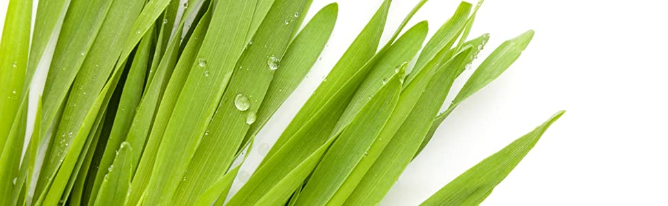 Barley Grass with water droplets on white background