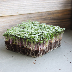 spicy salad mix microgreen , mountain valley seed trueleaf market easy to grow microgreens