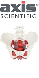 Axis Scientific 6-Part Female Skeletal Pelvis with Organs