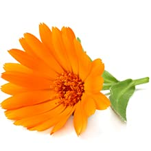 Calendula and its healing and soothing skin and health benefits reducing inflammation irritations