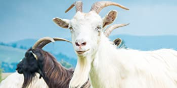 goat test