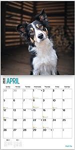 border collies calendar