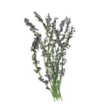 lavender essential oil flower