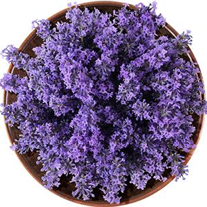 Lavender conditioner