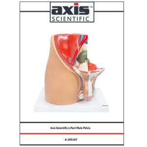 Axis Scientific 3-Part Male Pelvis