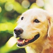 happy dog golden retriever in nature