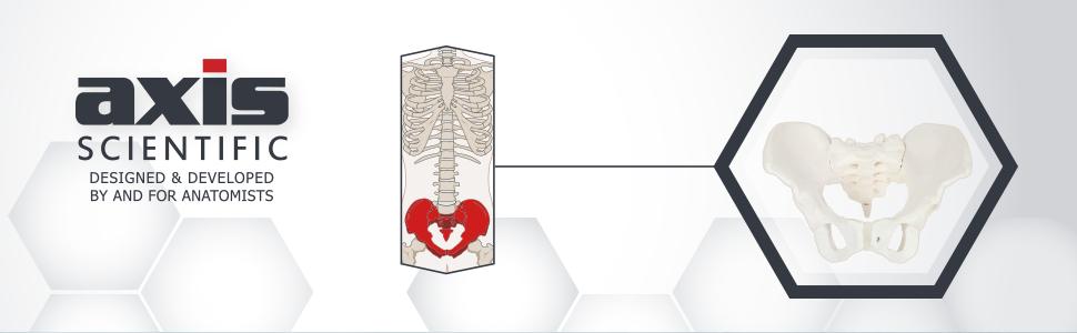 Axis Scientific Female Skeletal Pelvis