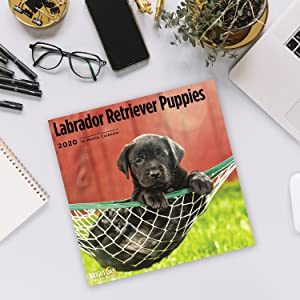 2020 Labrador Retriever Puppies Calendar