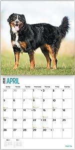Bernese mountain dog calendar