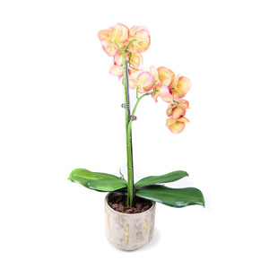 orchid in a pot