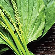 plantain, herbs, medicinal, splinters, boils, splinters