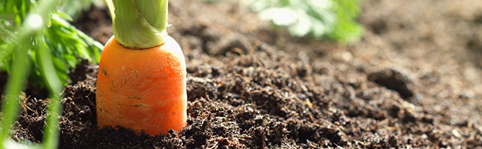 Vegetable, Carrot grown in soil with Perfect Plants Organic Plant Food