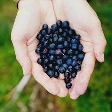 Allergen free wild blueberry powder