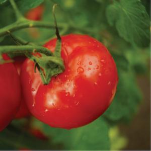 Close-up image of ripe tomato on vine