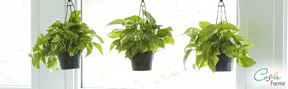 a+ Pothos house plant