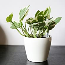 Jade and Pearl Pothos