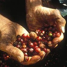java trading farm farmers had cherry beans harvest coffee picking fresh coffee earth responsibility