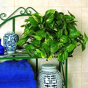 golden pothos live plant