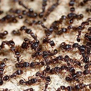 ants, ant bait, terro