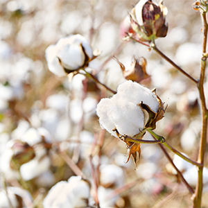 Cotton flowers in a cotton field