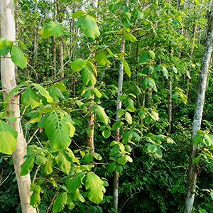 faay teak tree wooden