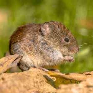 vole repellant rodent