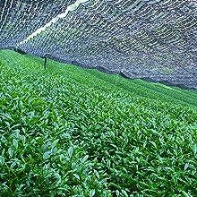 matcha konomi shade grown tea