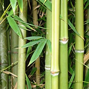 BambooMN bamboo shoots wood forest green