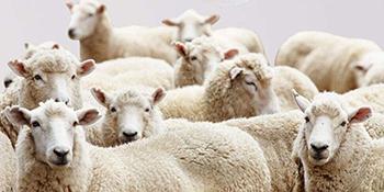 lamb dryer balls